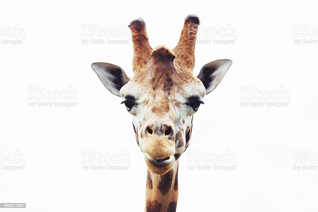 Giraffe head close up isolated on white background stock photo