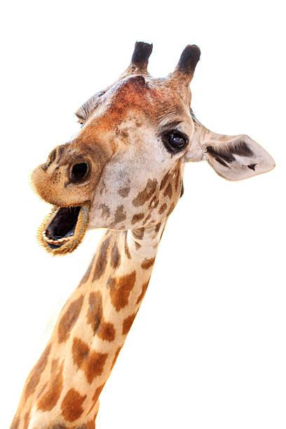 giraffe head face look funny - giraffe stock photos and pictures