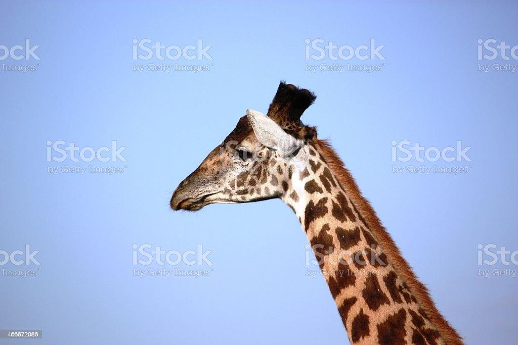 Giraffe head in front of blue sky stock photo