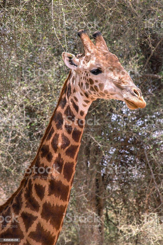 Giraffe head in Senegal - foto de stock