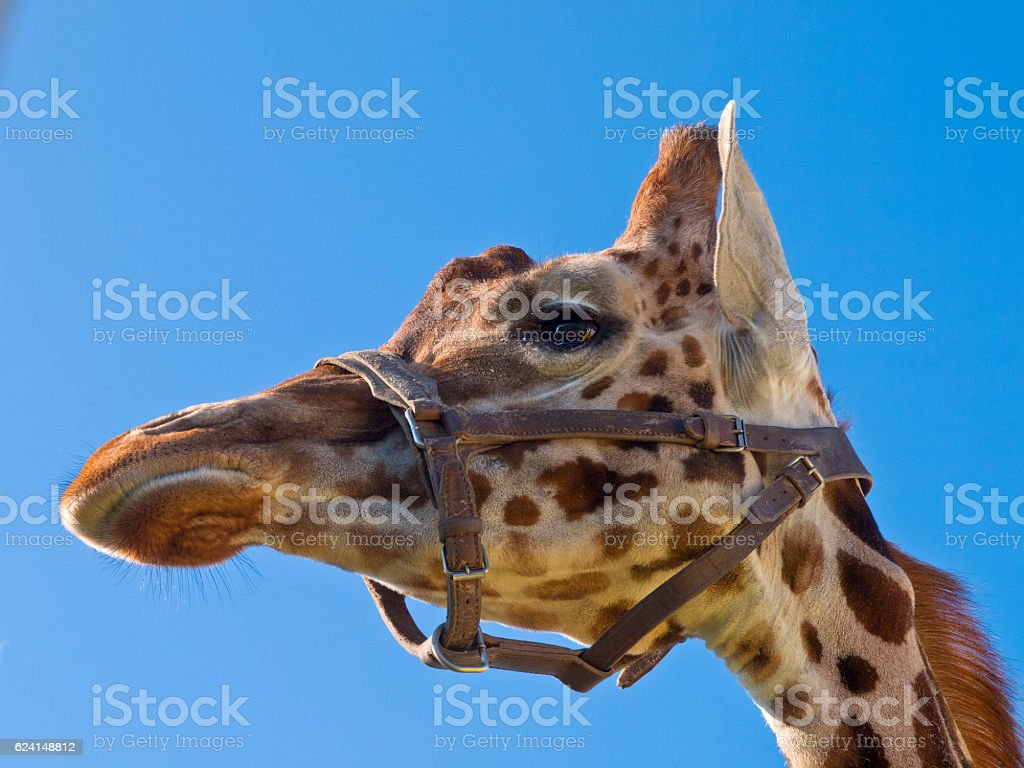 Giraffe head looking left stock photo
