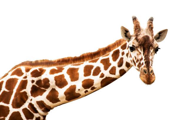 ein giraffen-kopf schaut in die kamera, ausgeschnitten - gedehnte ohren stock-fotos und bilder