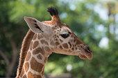Closeup of the head of a giraffe at zoo.