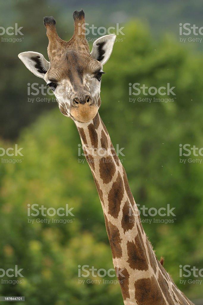 Giraffe Kopf und Nacken – Foto