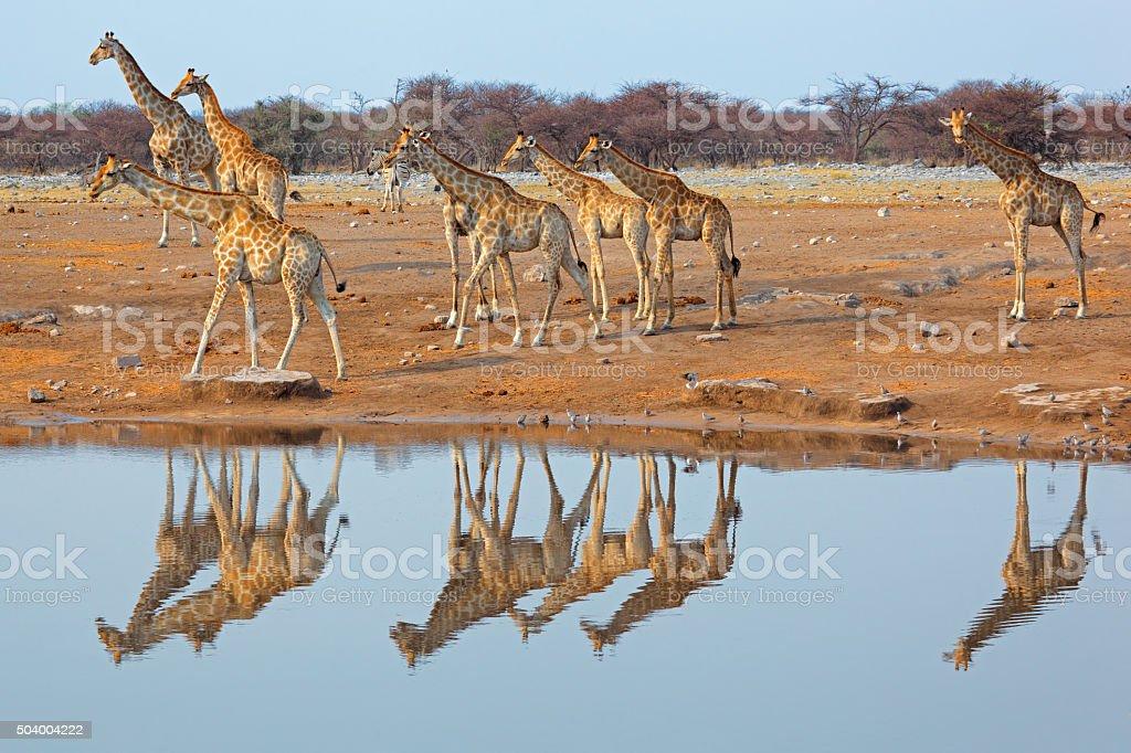 Giraffe herd at waterhole stock photo