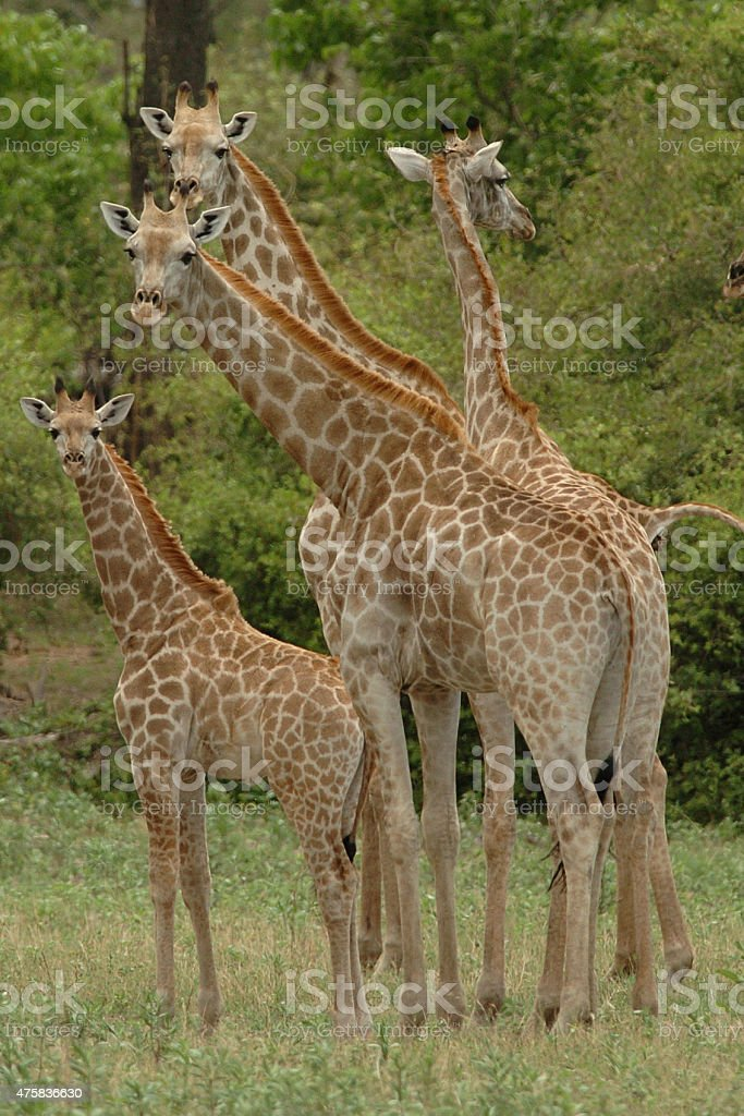 Giraffe herd stock photo