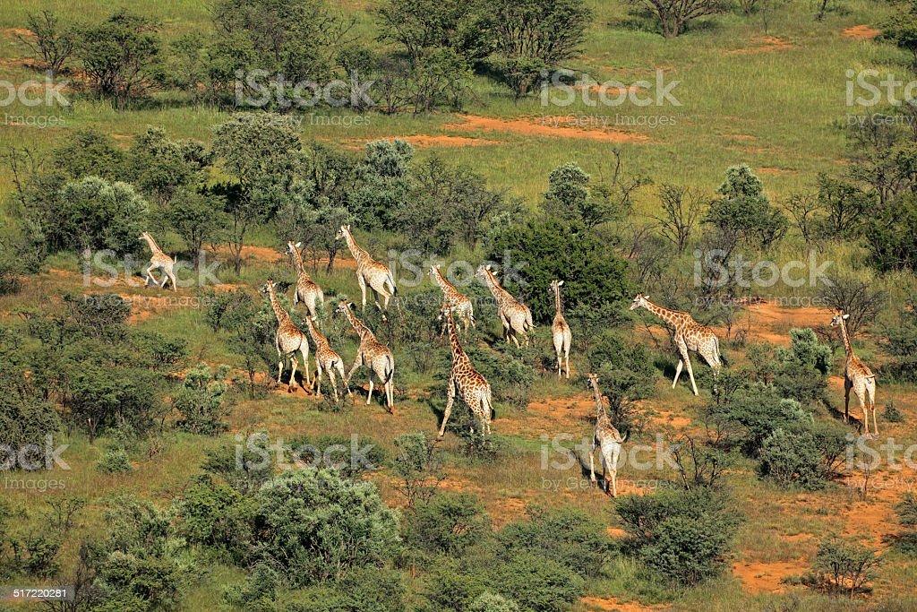 Giraffe herd stock photo