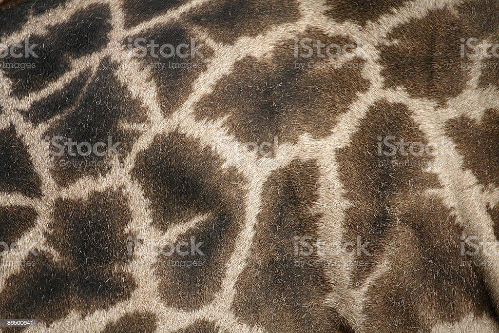 Żyrafa Ukryj zbiór zdjęć royalty-free