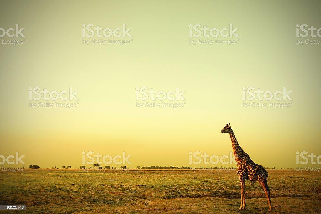 Giraffe im Sonnenuntergang stock photo