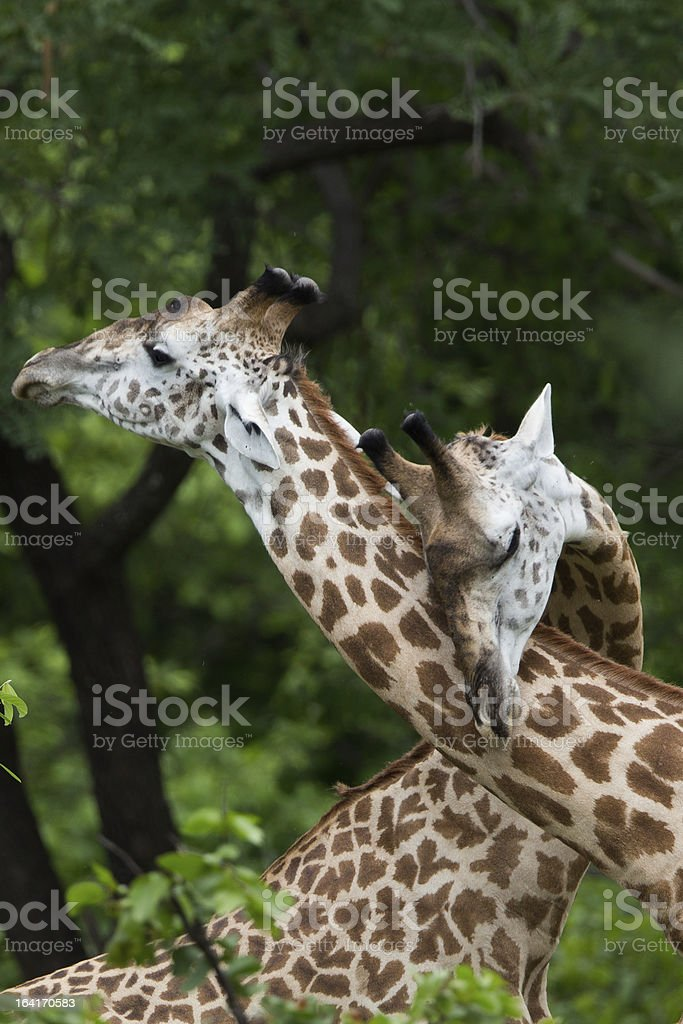 Giraffe in Africa royalty-free stock photo