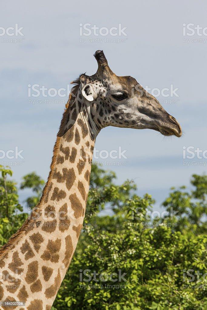 Giraffe in Africa royalty-free stock photo