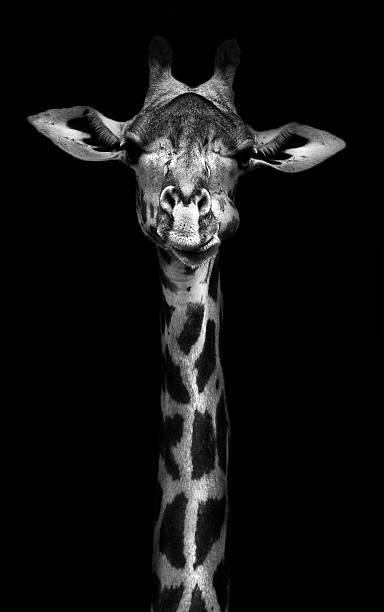 girafe en noir et blanc - girafe photos et images de collection