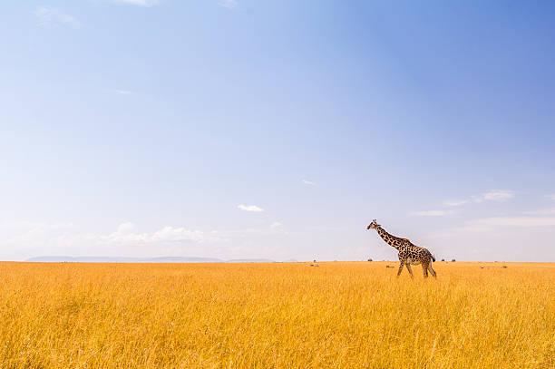 Giraffe in der Masai Mara – Foto