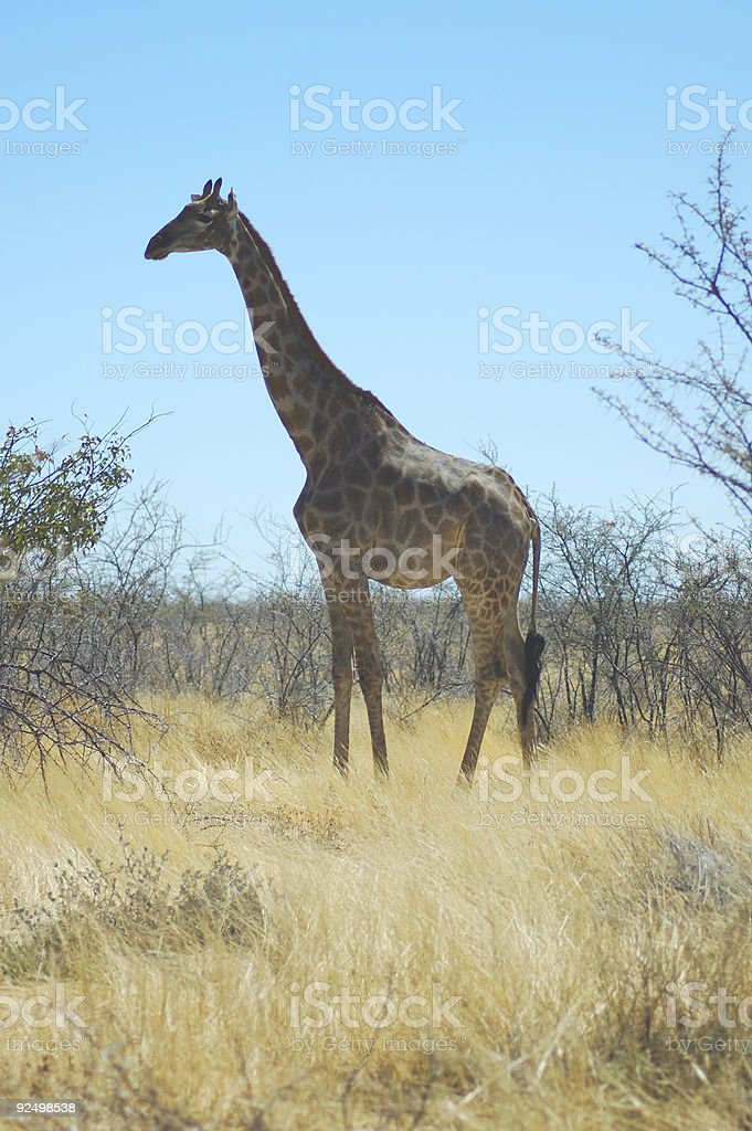 giraffe in Etosha royalty-free stock photo