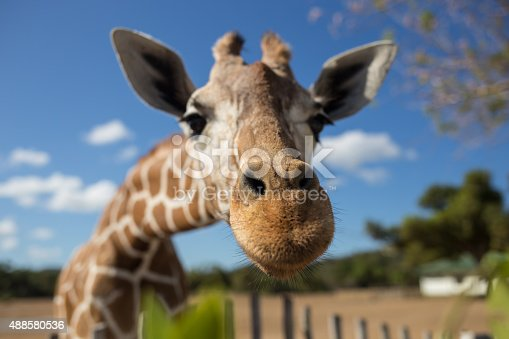 istock Giraffe in front of Kilimanjaro mountain 488580536