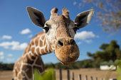 Two giraffe graze in the grass on the Maasai Mara plains.