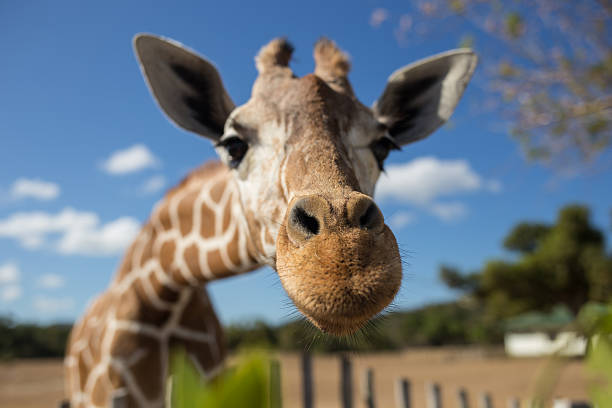 giraffe in front of kilimanjaro mountain - zoo stock pictures, royalty-free photos & images