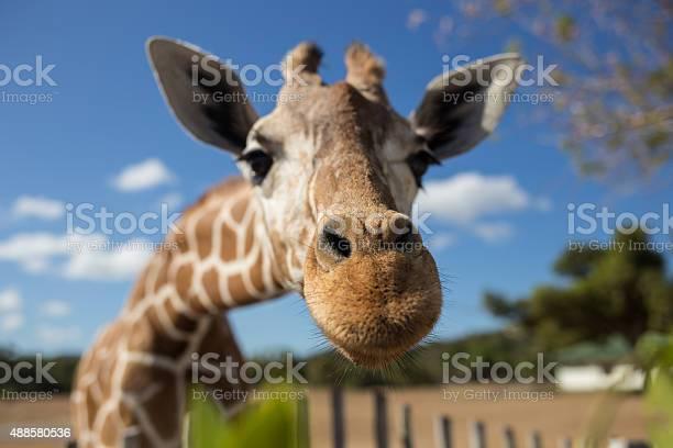 Giraffe in front of Kilimanjaro mountain - Amboseli national park Kenya