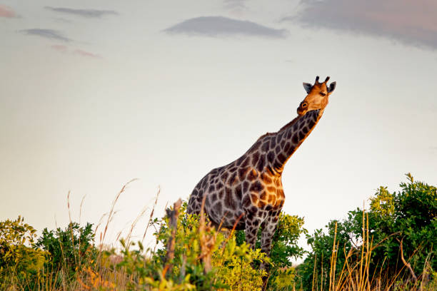 Giraffe in Hwange National Park,Zimbabwe stock photo