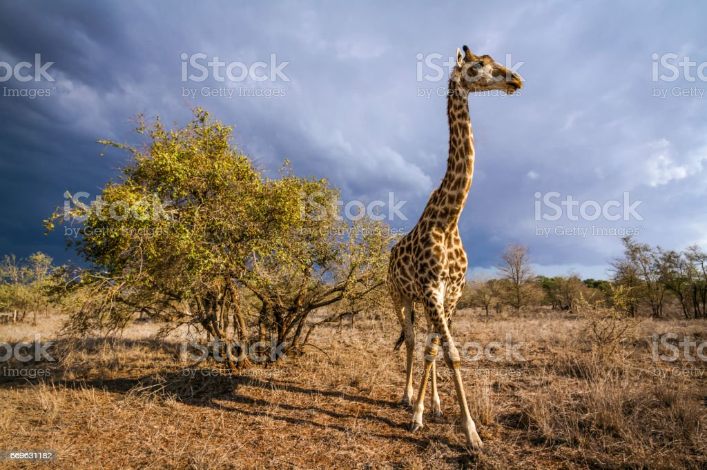 Giraffe in Kruger national park, South Africa stock photo