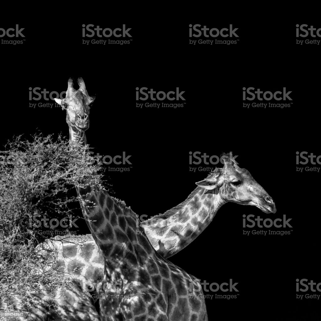 Giraffe in Kruger National park, South Africa royalty-free stock photo