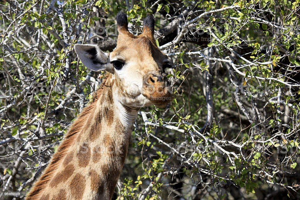 Giraffe in Kruger Park, South Africa royalty-free stock photo