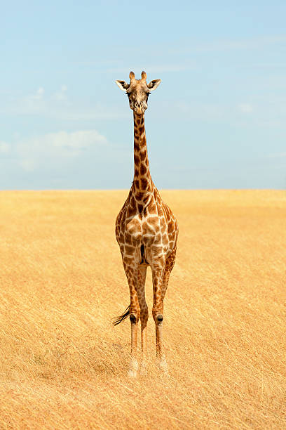 Giraffe in Masai Mara – Foto