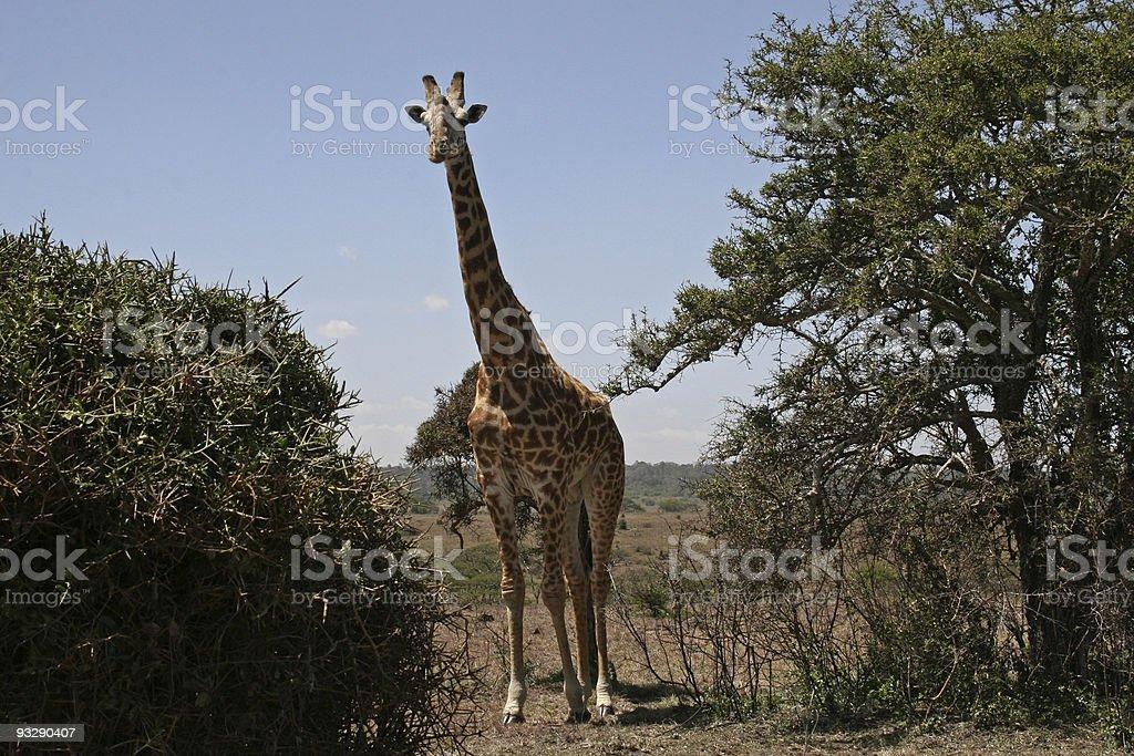 Giraffe in Nairobi National Park stock photo