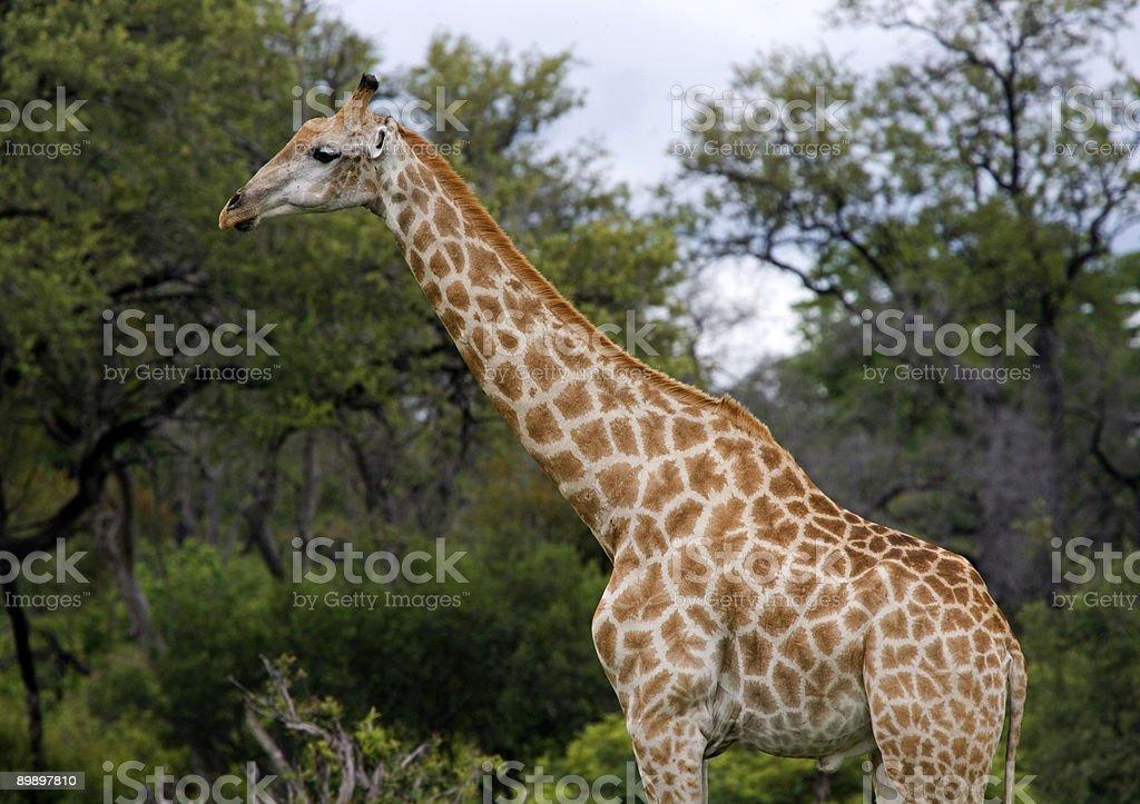 Giraffe in Profil Lizenzfreies stock-foto