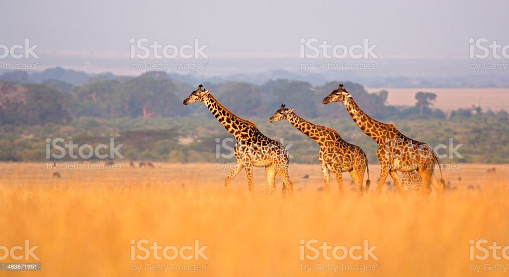 Giraffe in savannah stock photo