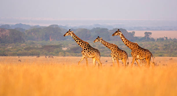 girafe dans la savane - girafe photos et images de collection