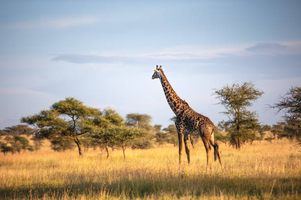 Giraffe In Serengeti National Park stock photo
