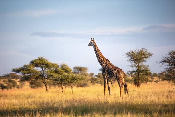 Giraffe im Serengeti Nationalpark – Foto