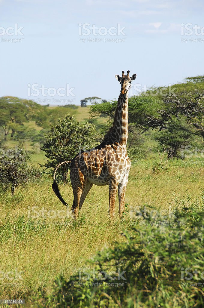 Giraffe in Serengeti National Park, Tanzania royalty-free stock photo