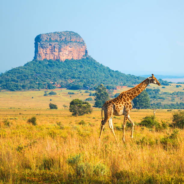 giraffe in south africa - wildlife reserve stock pictures, royalty-free photos & images
