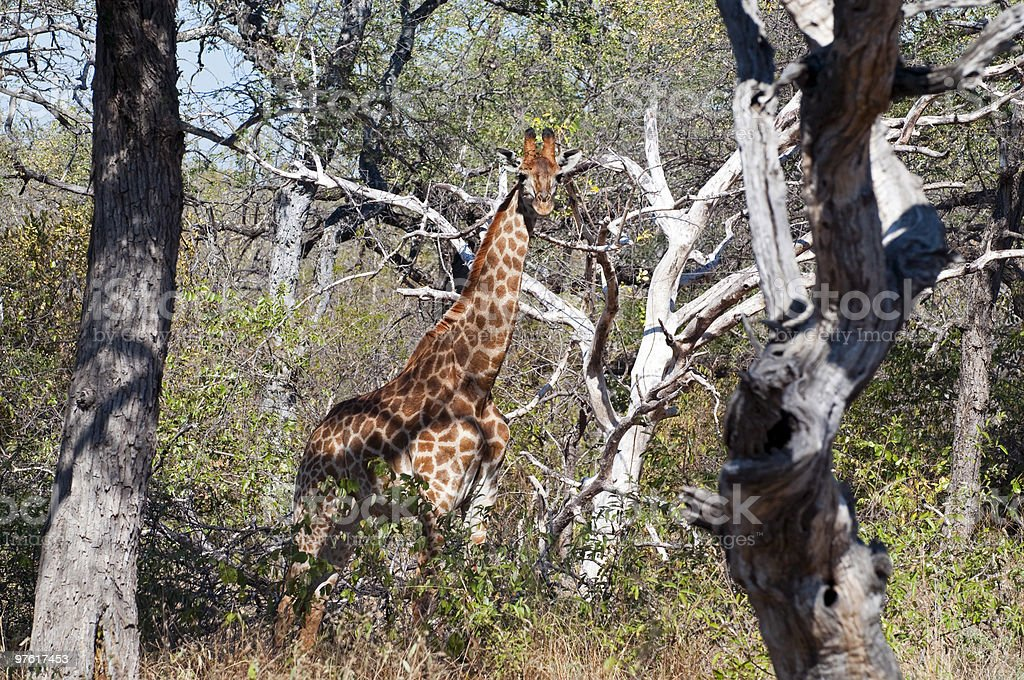 Giraffe in South Africa royalty-free stock photo