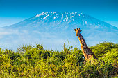 Giraffe in the bush, and the Kilimanjaro mountain