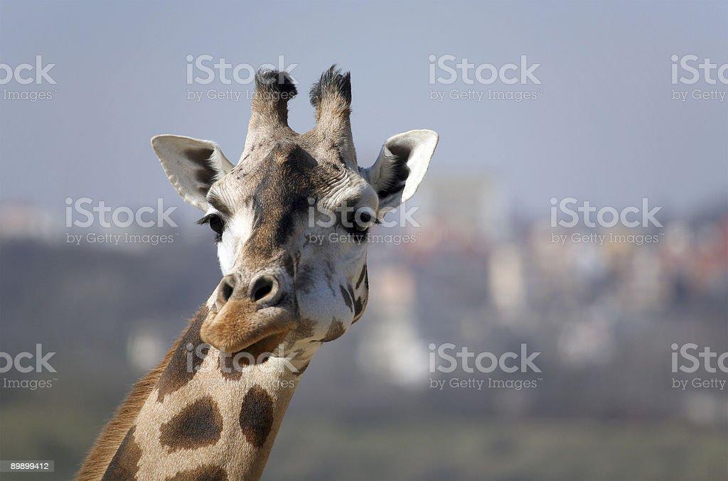 Giraffe in the city royalty-free stock photo