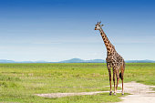 A full size Masai-Giraffe (Giraffa camelopardalis) standing in the green plains of the remote Katavi National park in Tanzania, close to the shore of Lake Tanganyika.Lots of copy space. See also other pictures of this series in my portfolio.'