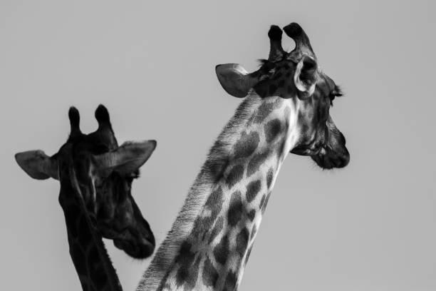 Giraffe in the Okavango Delta, Botswana, Africa stock photo