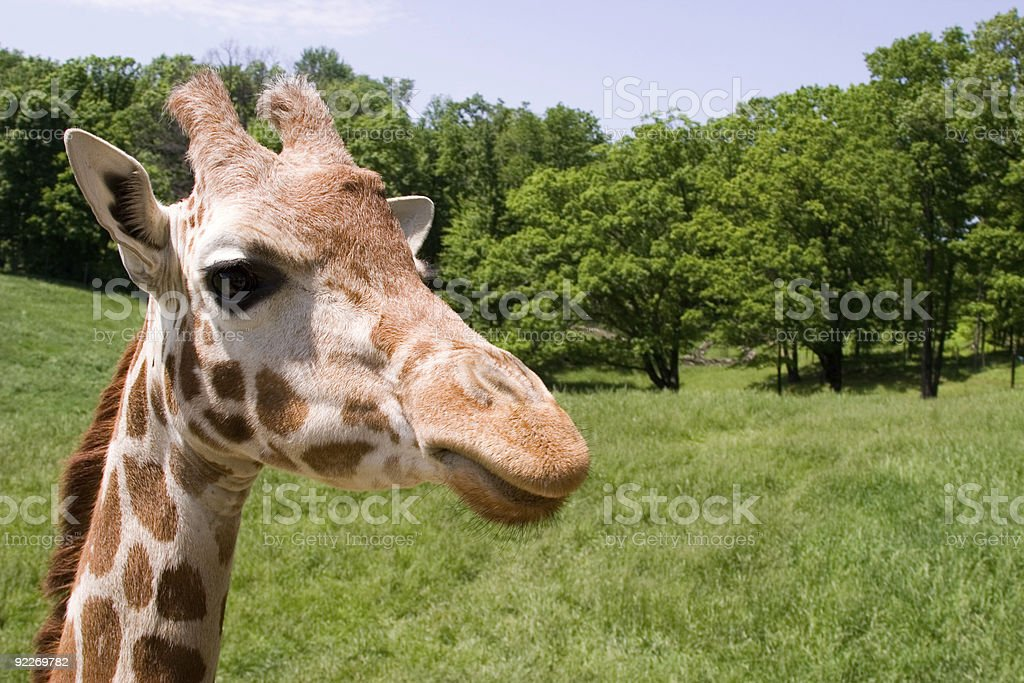 Giraffe in the Park stock photo