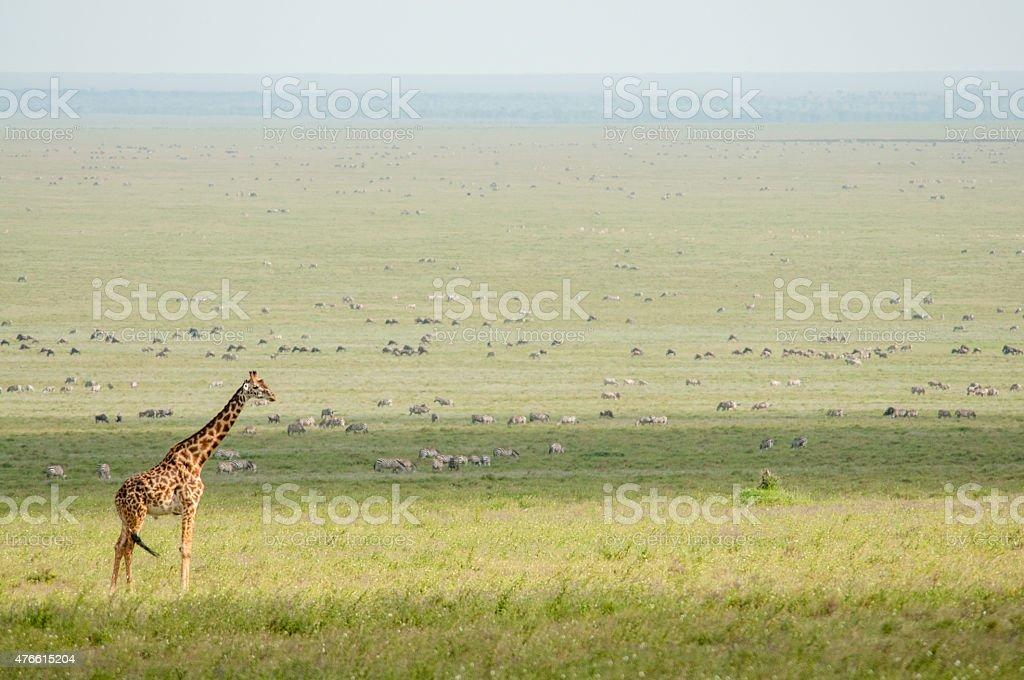 Giraffe in the Serengeti stock photo