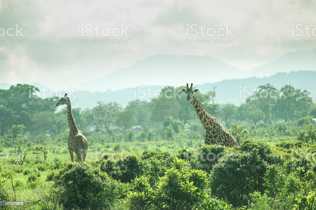 Giraffe in wild stock photo
