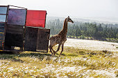 Giraffe is relocated and released into the wild