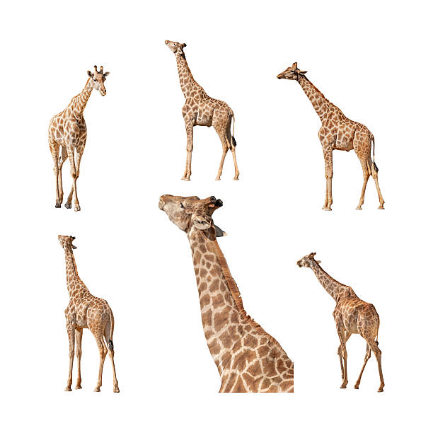giraffe isolated on a white background collection - giraffe stock photos and pictures