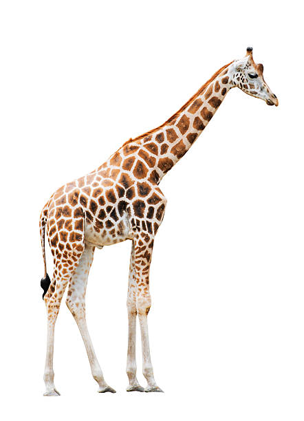 giraffe isolated on white background - giraffe stock photos and pictures