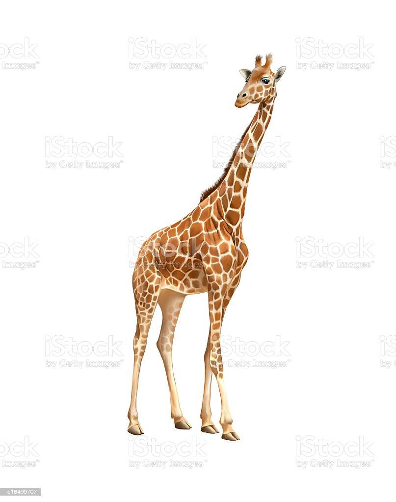 Giraffe isoliert auf weiss – Foto