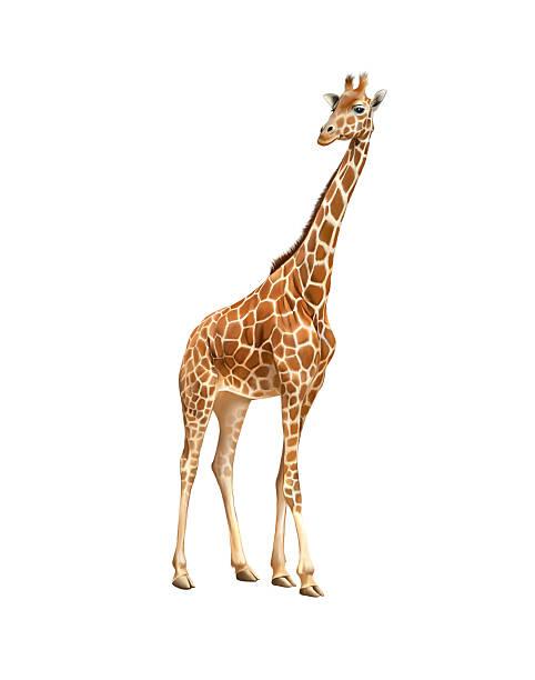 giraffe isoliert auf weiss - gedehnte ohren stock-fotos und bilder