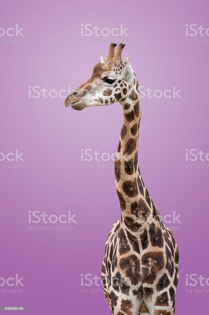 Giraffe Isolated royalty-free stock photo