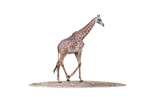 giraffe isolated - gedehnte ohren stock-fotos und bilder